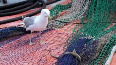Seagull try to eating a small shark — Vídeo de stock