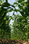 Maize field in spring — Stock Photo