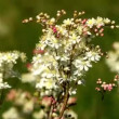 White flower of  Dropwort (Filipendula vulgaris ) — Stock Video