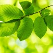 Stock Photo: Hornbeam leaves