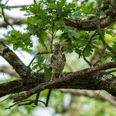 Fieldfare (Turdus pilaris) — Stock Photo