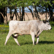Hungarian grey bull — Stock Photo