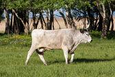 Hungarian grey bull — Stock Photo