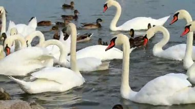 White swans on the lake — Stock Video