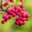 Mature  hawthorn berries — Stock Photo