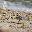 White Wagtail — Stockfoto