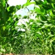 Maize field low angle view — Stock Video