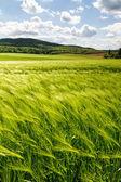 Campo de cereais — Foto Stock