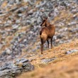 Chamois — Stock Photo #37253685