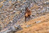 Chamois — Stock Photo