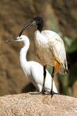 African sacred ibis. — Stock Photo