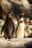 Portrait of penguins — Stock Photo