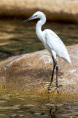 Cute little egret — Foto de Stock