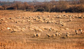 Sheeps — Foto Stock