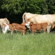 Stock Video: Herd of cows grazing
