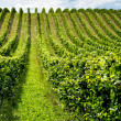 Beautiful rows of grapes — Stock Photo #41480893