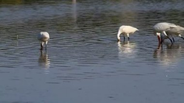 Group of spoonbill birds looking for food — Stock Video