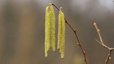 Corylus avellana, Hazelnoot male flowers — Stock Video