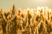Common reed — Stock Photo
