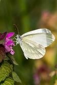 White Butterfly - Pieris brassicae — Stock Photo