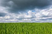 Campo de cereais verde — Fotografia Stock