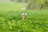 European hare (Lepus europaeus) — Stock Photo