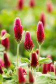 Crimson clover flower — 图库照片