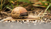 Burgundy snail (Helix pomatia) — Stock Photo