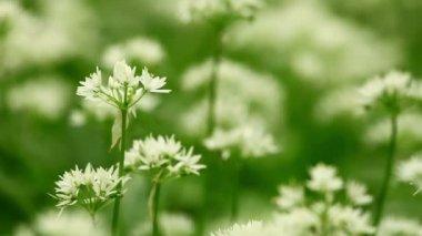 White flowers of Allium ursinum or wild garlic or Ramson. — Stock Video