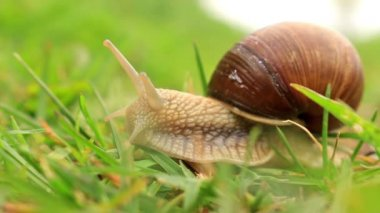 Burgundy snail (Helix pomatia) in the green grass — Stock Video