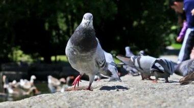 Las palomas urbanas amor — Vídeo de Stock