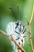 White Butterfly ( Pieris brassicae) — Stock Photo
