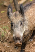 Young wild boar — Stock fotografie