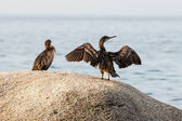 Great Cormorant (Phalacrocorax lucinus) — Stock Photo