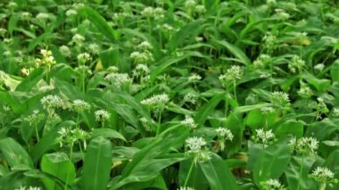 White flowers of Allium ursinum or wild garlic or Ramson — Stock Video