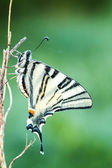 Beautiful swallowtail (Papilio machaon ) — Stock Photo