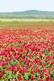 Crimson clover flower field  — Stock Photo