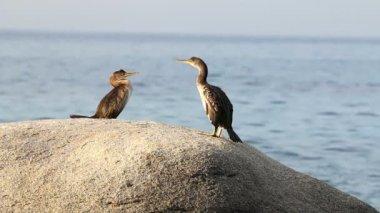 Coastal with cormorants (Spain,Costa Brava) — Vídeo stock