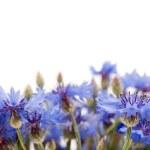 Blue cornflower — Stock Photo #19527971