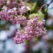 Violet common lilacs detail - Stock Photo