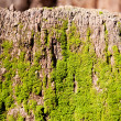 Moss on bark - Stock Photo
