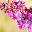 Purple lilac — Stock Photo #27648017