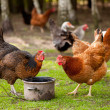 Rhode Island Red chickens — Stock Photo