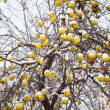Stock Photo: Apples in winter