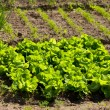 Stock Photo: Lettuce growing