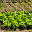 Lettuce growing — Stock Photo