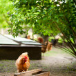 Rhode Island Red chicken — Stock Photo