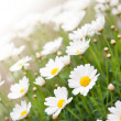 Camomile flowers — Stock Photo #28432447