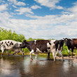 Spotted cows walking — Stock Photo #29198469
