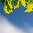 Oak leaves on sky — Stock Photo